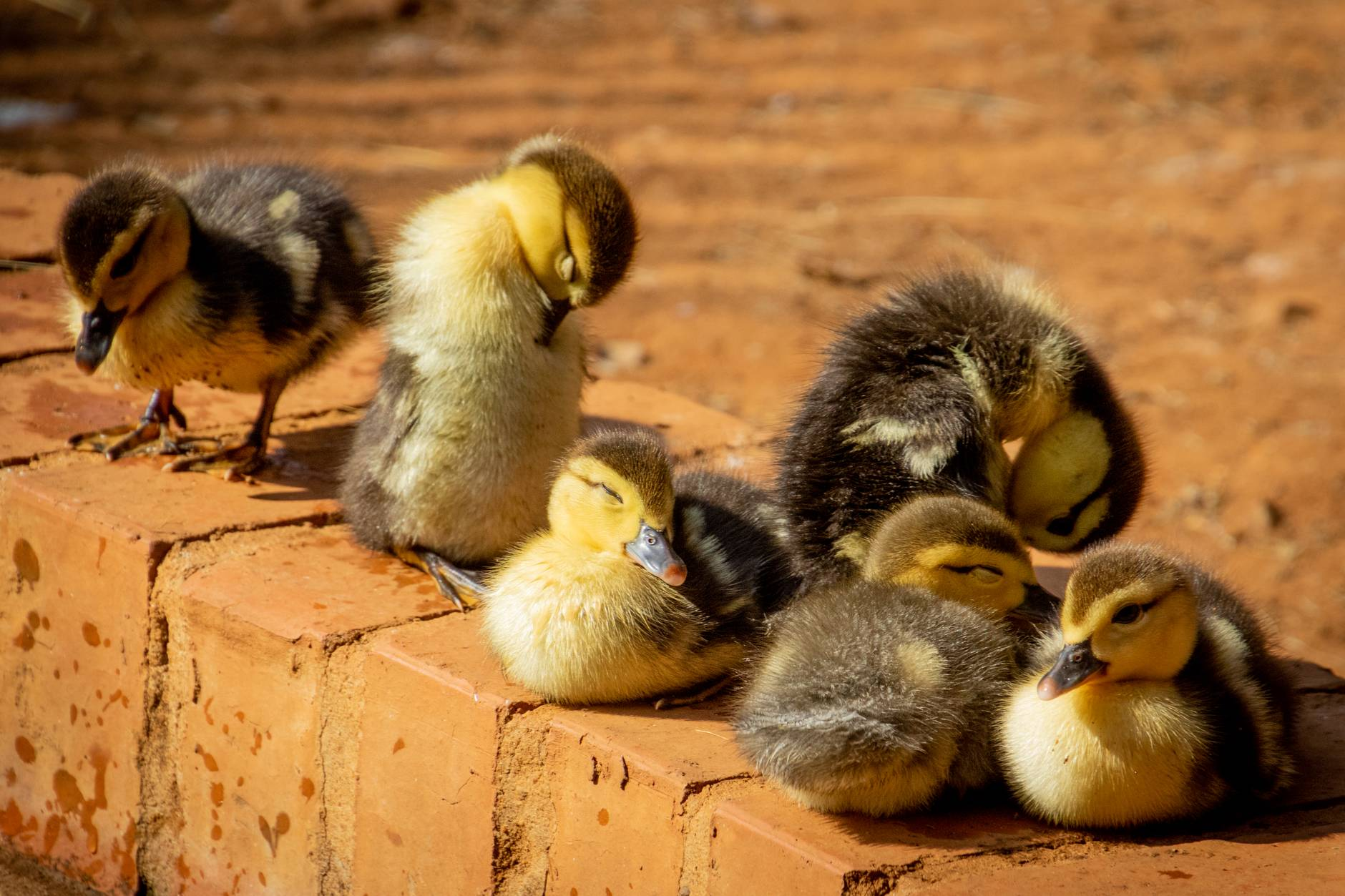 selective focus photo of flock of ducklings perching on gray concrete pavement