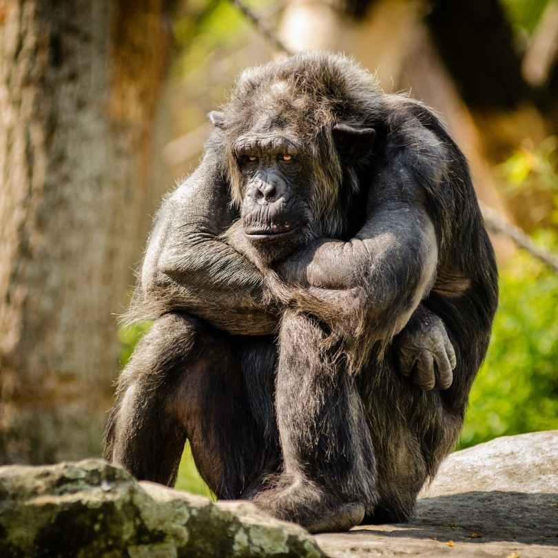 chimpanzee sitting sad mammal Flipping Your Script