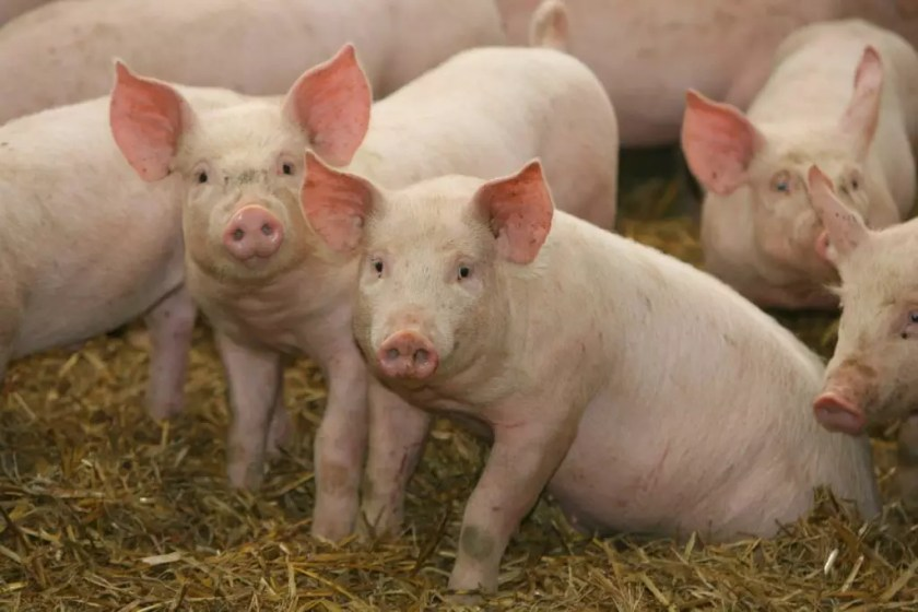 Pig farming in Nigeria,how lucrative is pig farming in Nigeria,pig farming in nigeria nairaland,pig farming in nigeria pdf,complete guide to commercial pig farming in nigeria,challenges of pig farming in nigeria,disadvantages of pig farming in nigeria,largest pig farm in nigeria,pig price in nigeria