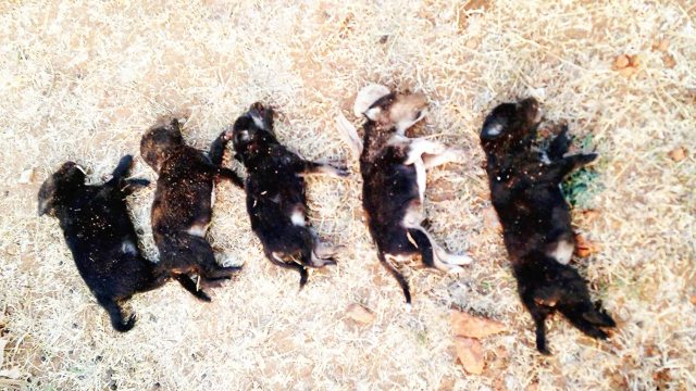 puppies killed