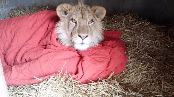 lion and blanket