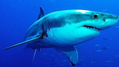 Photo of Inician captura de tiburón tras matar a un surfista en Australia