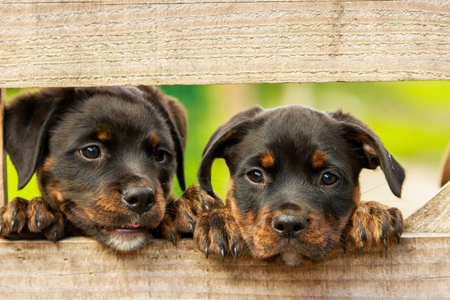 two rottweilers