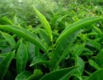 4 bienfaits du thé vert