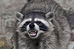 raccoon-baring-teeth