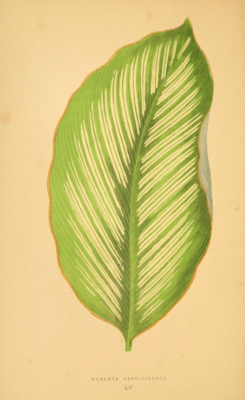 Les plantes a feuillage coloré. v.1. Paris :Rothschild,1867-1870. https://biodiversitylibrary.org/item/55539