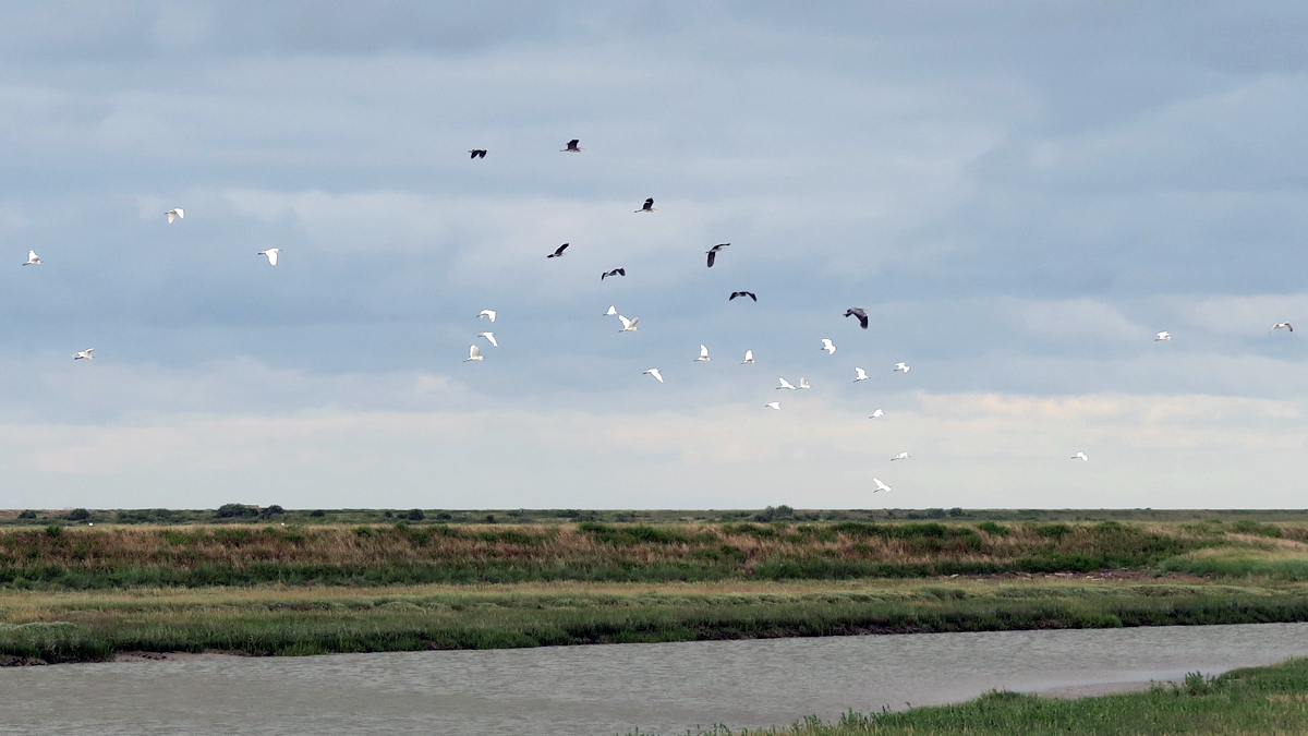 Started little egret and herons take to the air over Yantlet Creek
