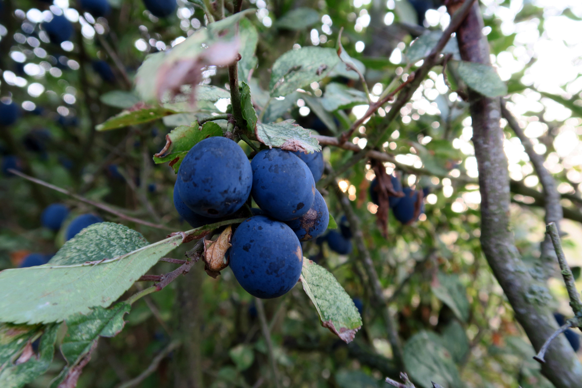 Damsons hanging from leafy branches, like small, purple plums