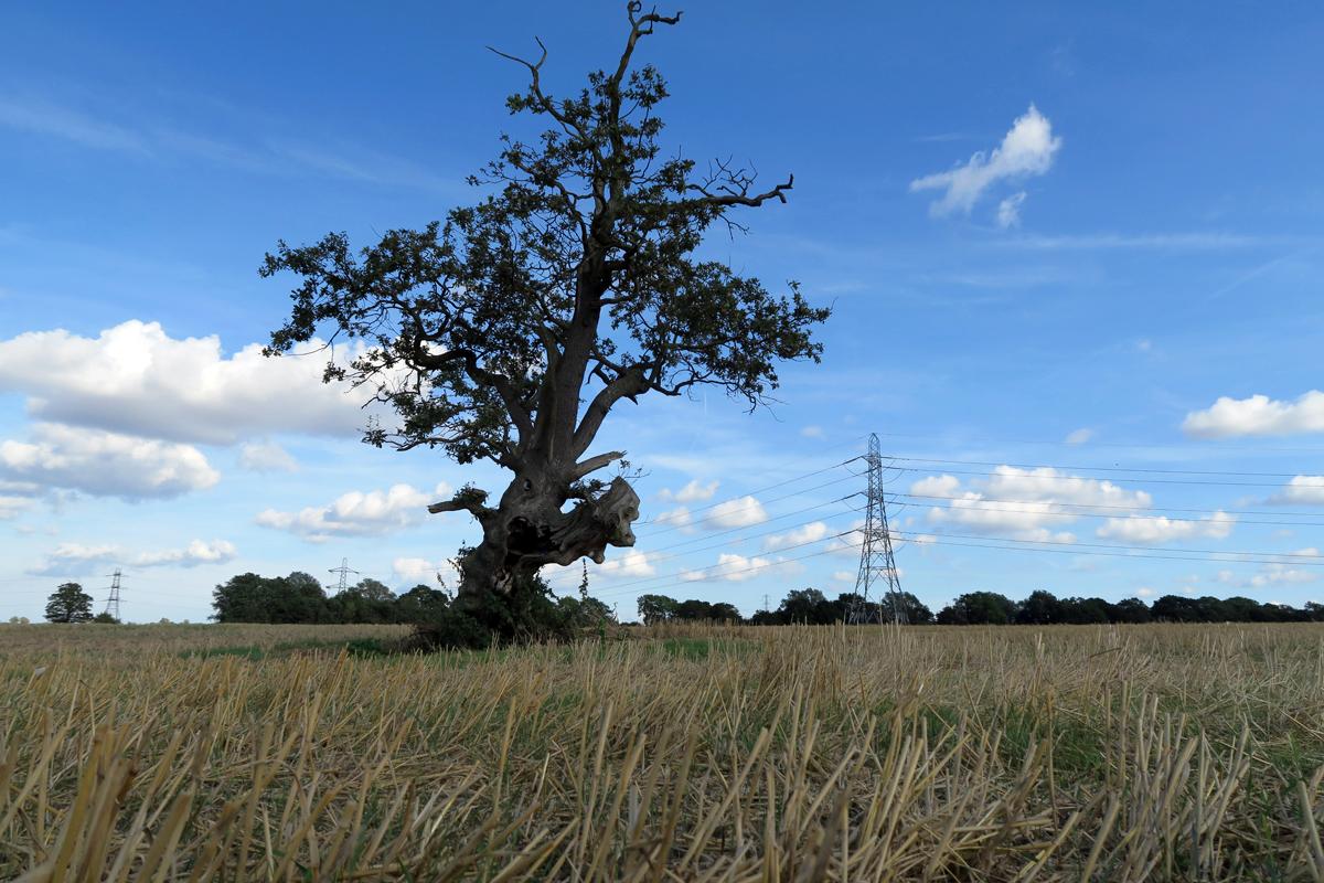 Oak tree surrounded by wheat stubble