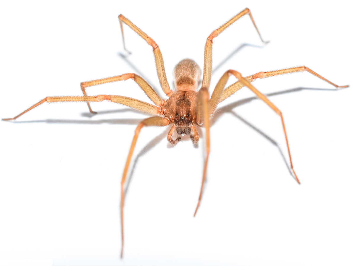 Active Pests In Southern Wisconsin Brown Recluse Spiders