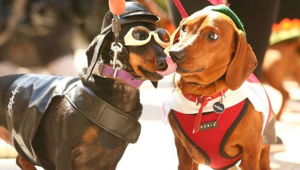 Two dogs in costume