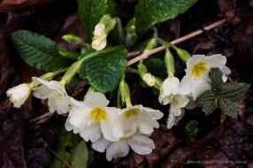 primule. Sirtori, primavera 2015 - Nikon D810, 105mm (105mm ƒ/2.8) 1/3sec ƒ/11 ISO 64