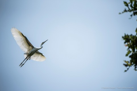 Trino Vercellese, airone bianco. Nikon D750, 400mm (80-400.0mm ƒ/4.5-5.6) 1/4000 ƒ/5.6 ISO 800