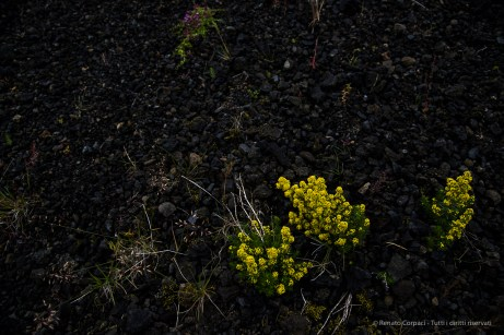 Goldmoss stonecrop or mossy stonecrop (sedum acre) constitute a discrete but conspicuous presence in the icelandic environment, as they stand-out on the volcanic gravel. Nikon D810, 24 mm (24-120.0 mm ƒ/4) 1/640 sec ƒ/8 ISO 400