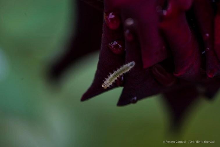 "Black rose. Nikon D810, 105.0 mm (105.0 mm ƒ/2.8) 1/100"" ƒ/4.8 ISO 80"
