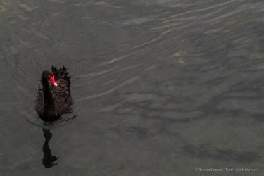 Black Swan Villeneuve Loubet. January 2016. Nikon D810, 120 mm (24-120,0 mm ƒ/4) 1/250″ ƒ/5.6 ISO 800