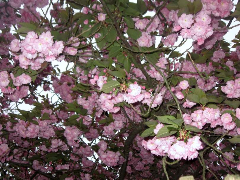 Cherry Blossms