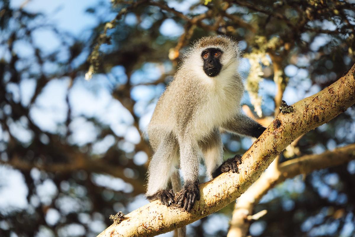 Experiencing an Incredible Luxury Safari at Solio Lodge Kenya Monkey