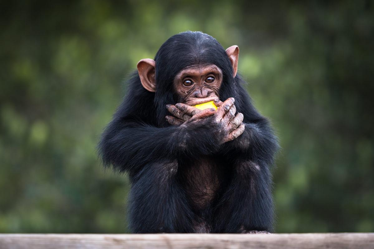 Ultimate Safari Adventure at Ol Pejeta Conservancy Kenya Chimpanzee Baby