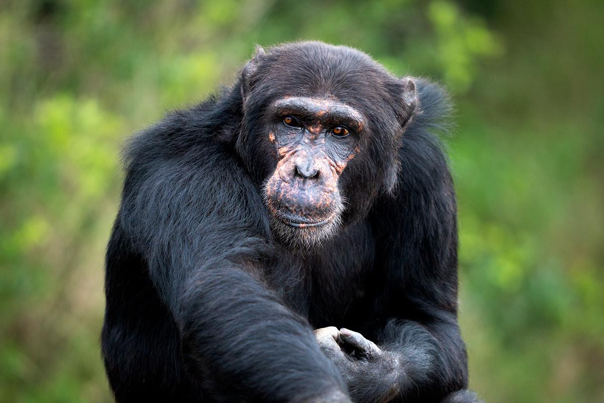 Ultimate Safari Adventure at Ol Pejeta Conservancy Kenya Chimpanzee