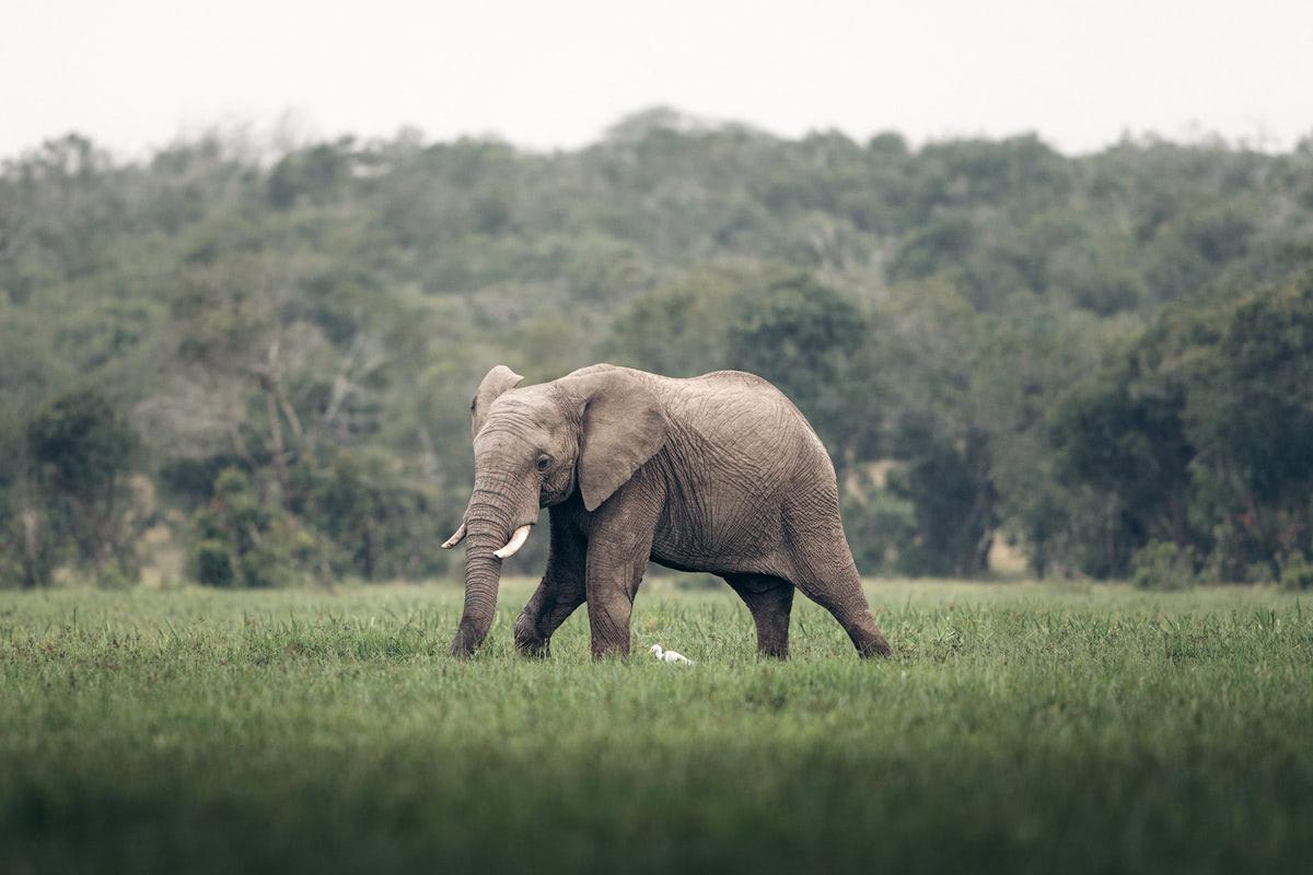 Ultimate Safari Adventure at Ol Pejeta Conservancy Kenya Elephant