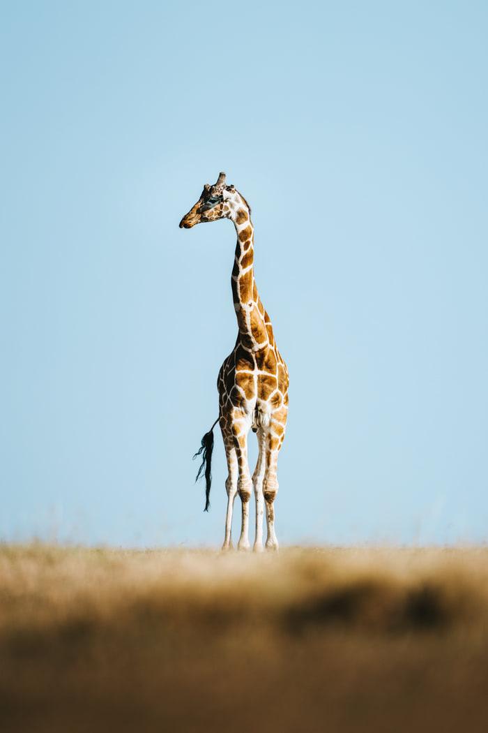 Ultimate Safari Adventure at Ol Pejeta Conservancy Kenya Giraffe