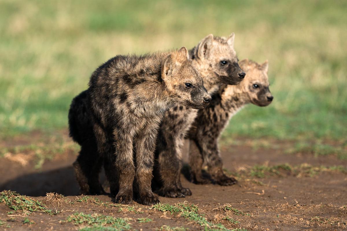 Ultimate Safari Adventure at Ol Pejeta Conservancy Kenya Hyenas