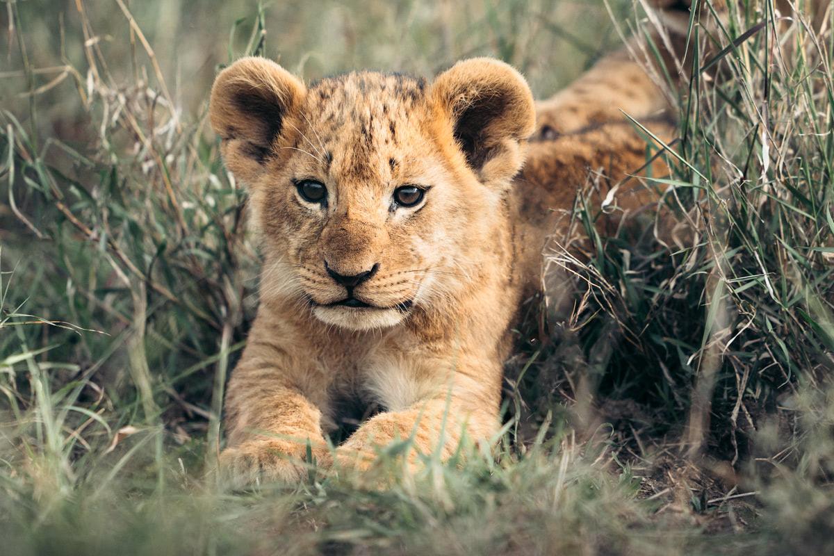 Ultimate Safari Adventure at Ol Pejeta Conservancy Kenya Lion Cub