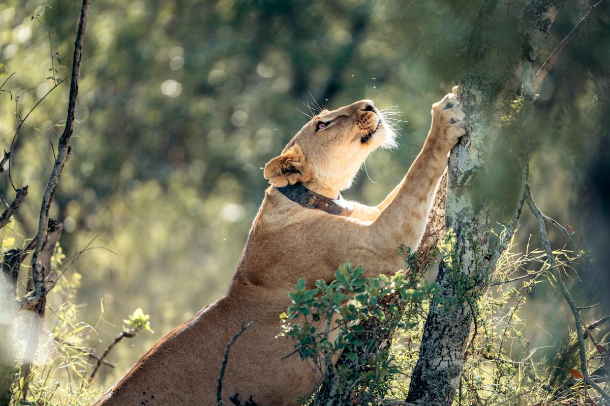Ultimate Safari Adventure at Ol Pejeta Conservancy Kenya Lion Tree