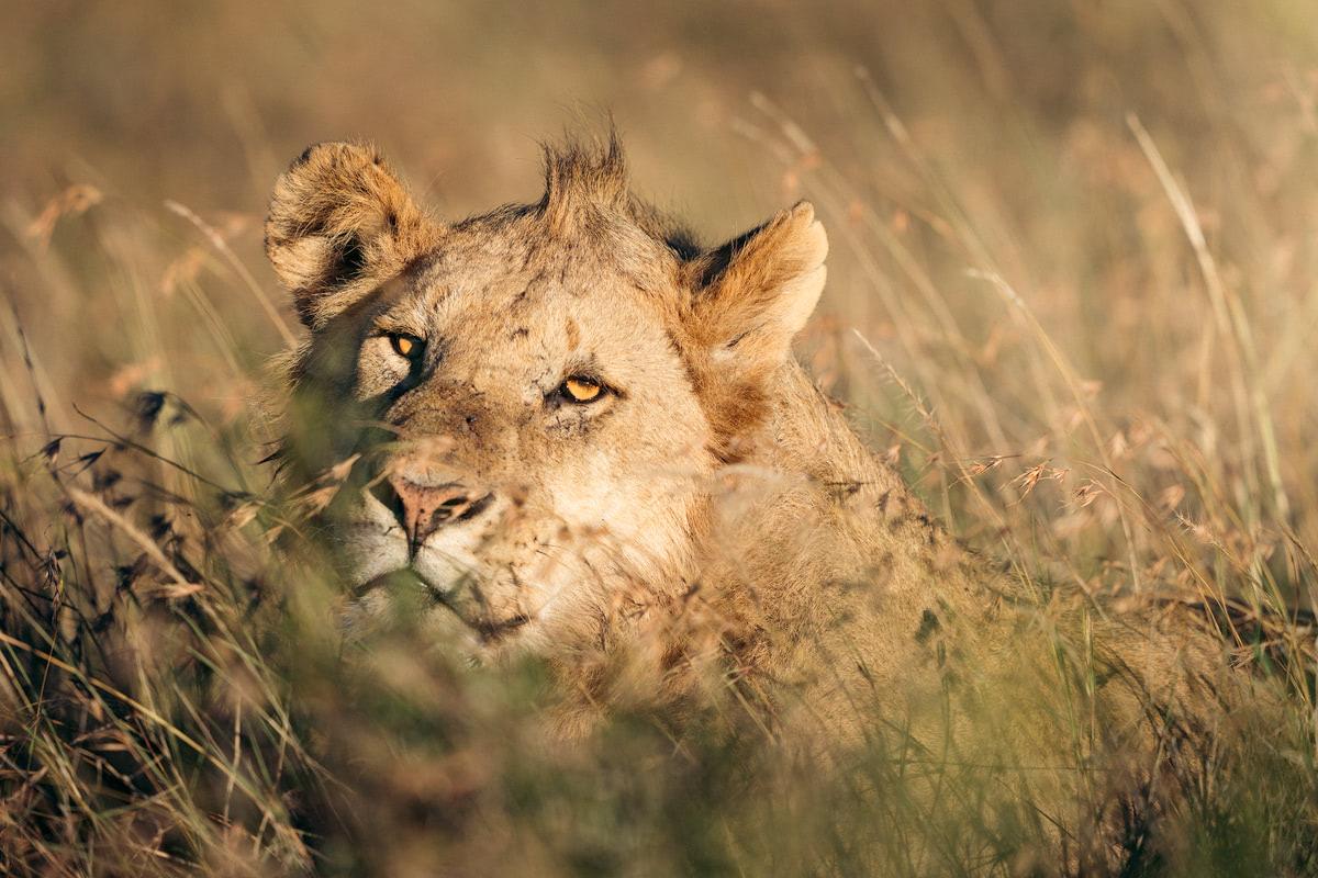 Ultimate Safari Adventure at Ol Pejeta Conservancy Kenya Lion in Grass