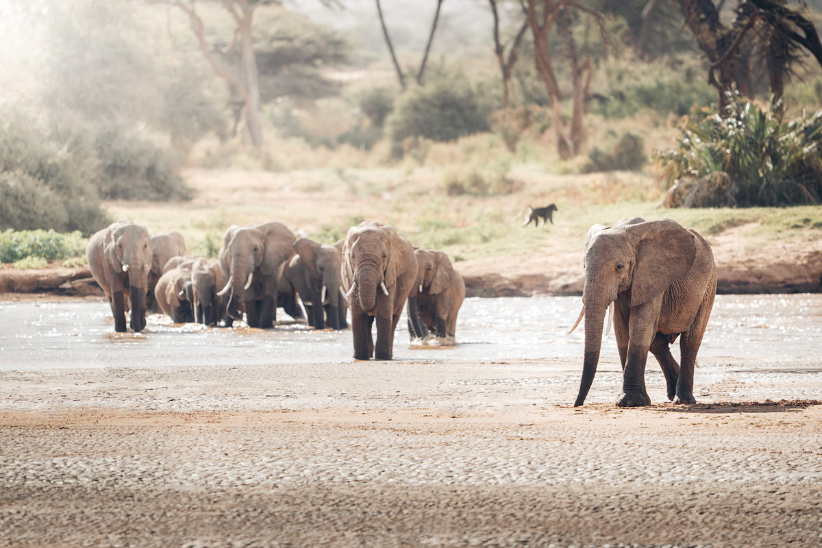 A Magical Stay at Ashnil Samburu Camp, Kenya - Elephants
