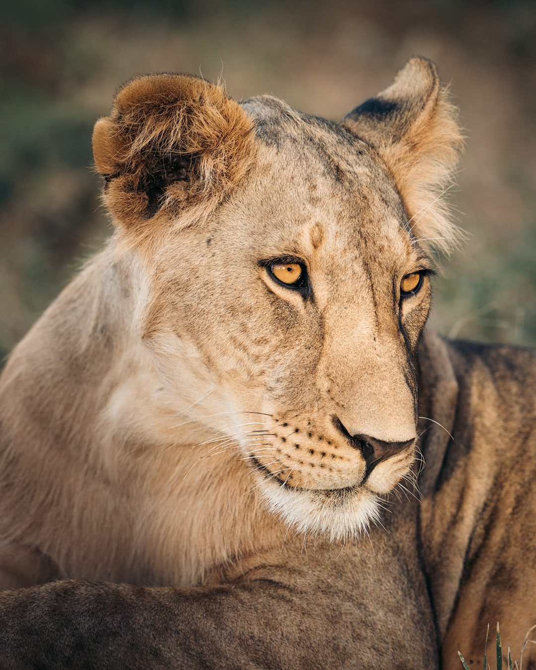 A Magical Stay at Ashnil Samburu Camp, Kenya - Lion Portrait