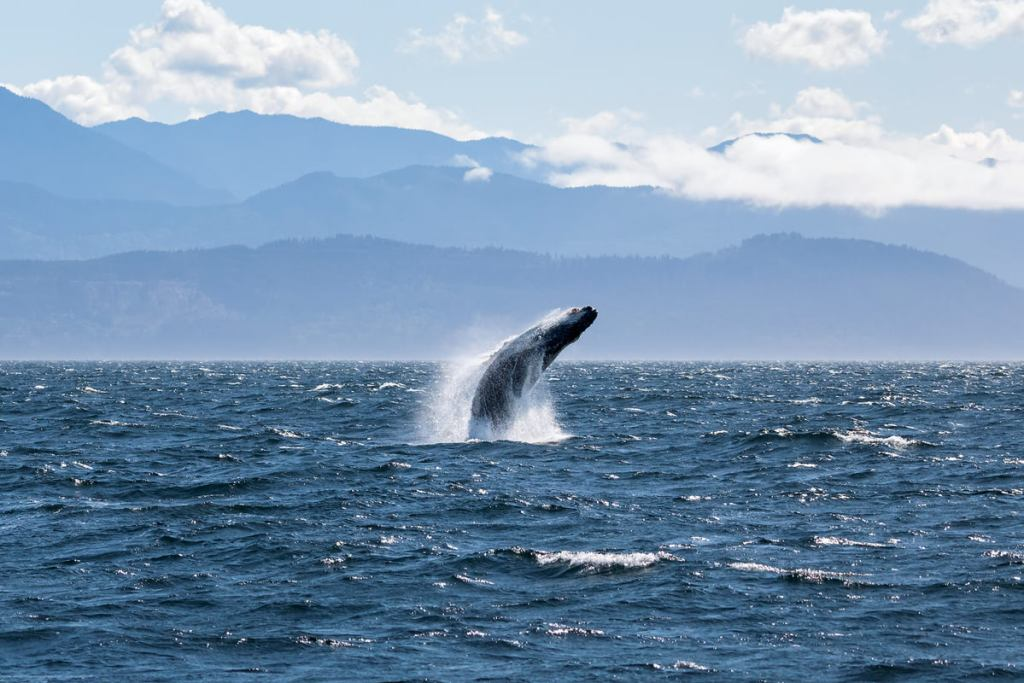 Best outdoor things to do during fall in Washington State - Whale watching humpback whales Washington