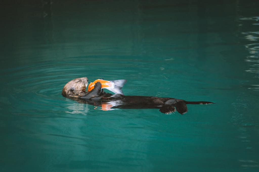 The Ultimate Guide to Exploring Kenai Fjords National Park - Otter eating salmon in Seward Alaska