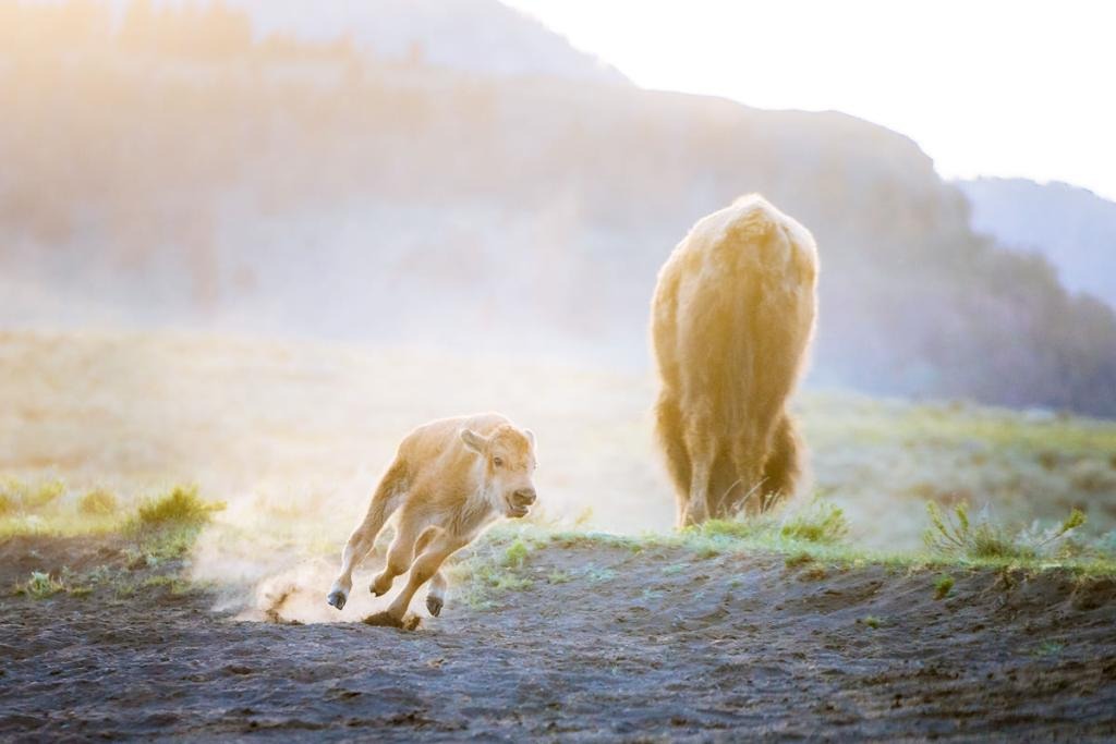 Ultimate Yellowstone National Park Guide and Itinerary- Baby Bison in Lamar Valley