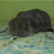 Poorly otter found in Johnstone is recovering in a Rescue Centre