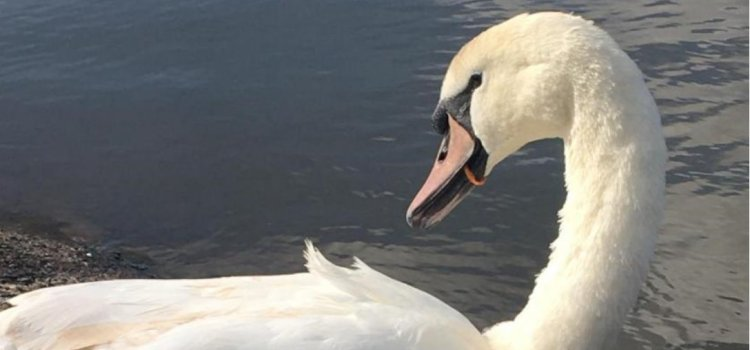 Scottish SPCA rescues swan with litter trapped around beak