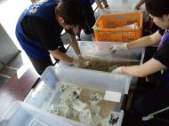 Des étudiantes de l'Université de Tohoku Fukushi collectent des photos dans des décombres et dans la boue, puis les lavent.