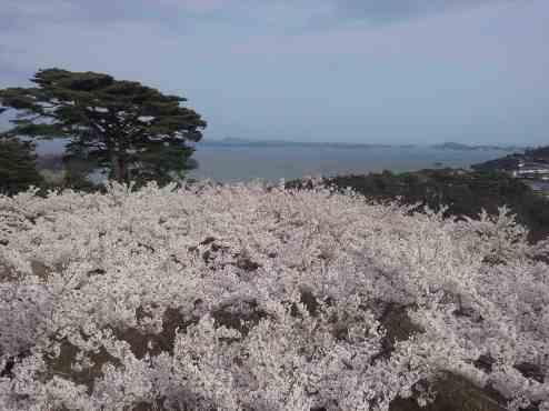 matsushima et sakura
