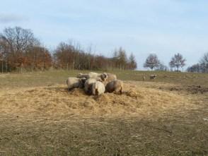 Schafe auf dem Hof