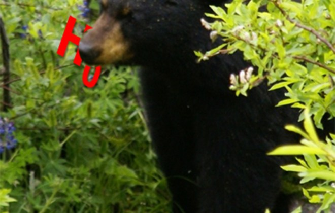 Black Bear Eating a null hyopothesis