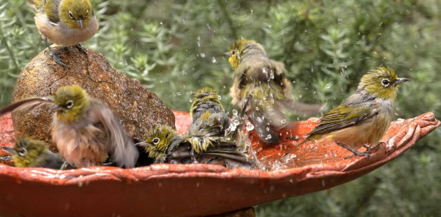 It is important to clean bird baths regularly. Glenn Pure