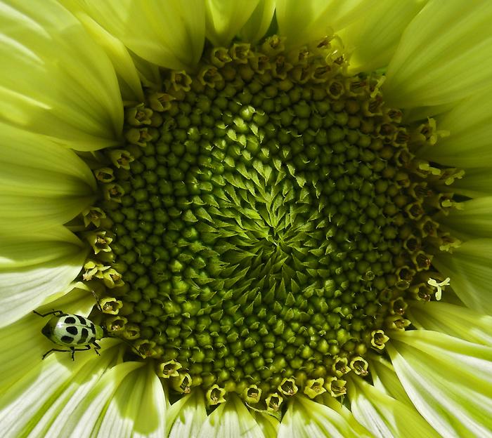 sunflower-with-cucumber-beetle-01.jpg