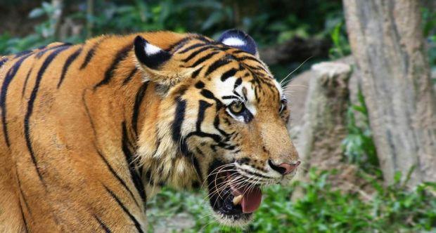 juznokitajski-tiger
