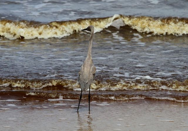 A reddish egret looks for a meal on the edge of the Mississippi Sound in Waveland, Mississippi, on Wednesday, July 7, 2010. (James Edward Bates/Biloxi Sun Herald/TNS)