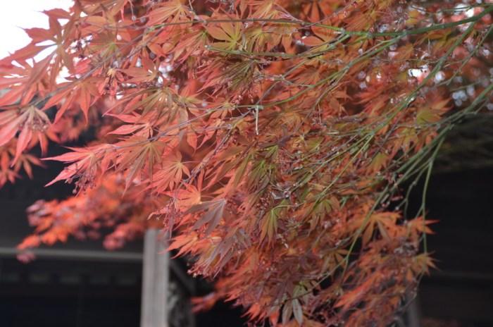 japanese-maple-tree_5749977547_o