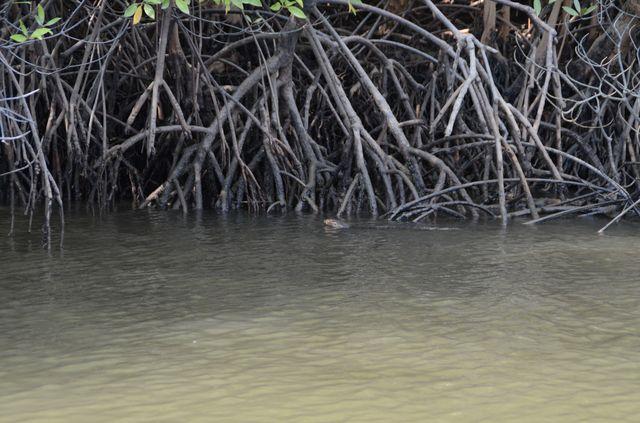 Langkawi - Mangrove - Varan