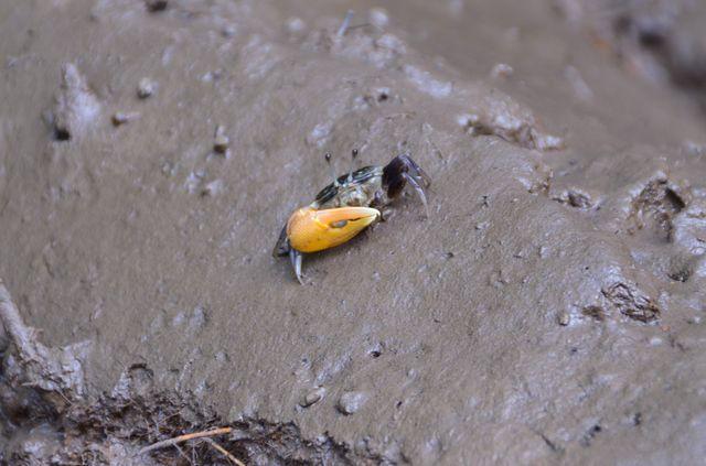 Langkawi - Mangrove - Crabe