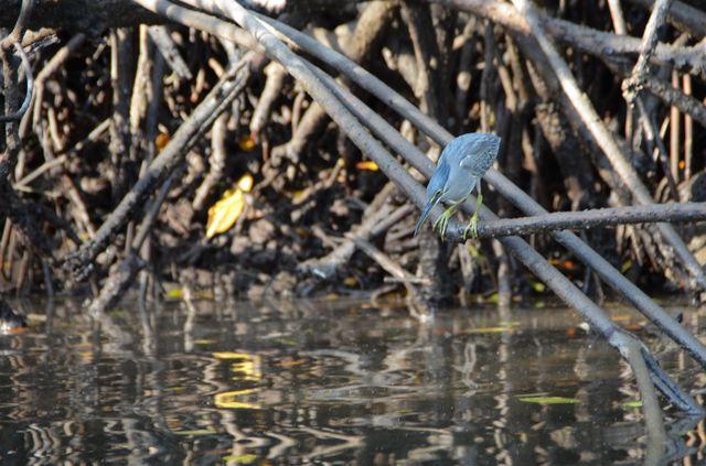 Langkawi - Mangrove - Heron