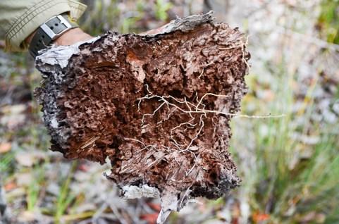 Dry Ant Plant